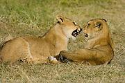 Lion cubs playing, Serengeti National Park, Tanzania