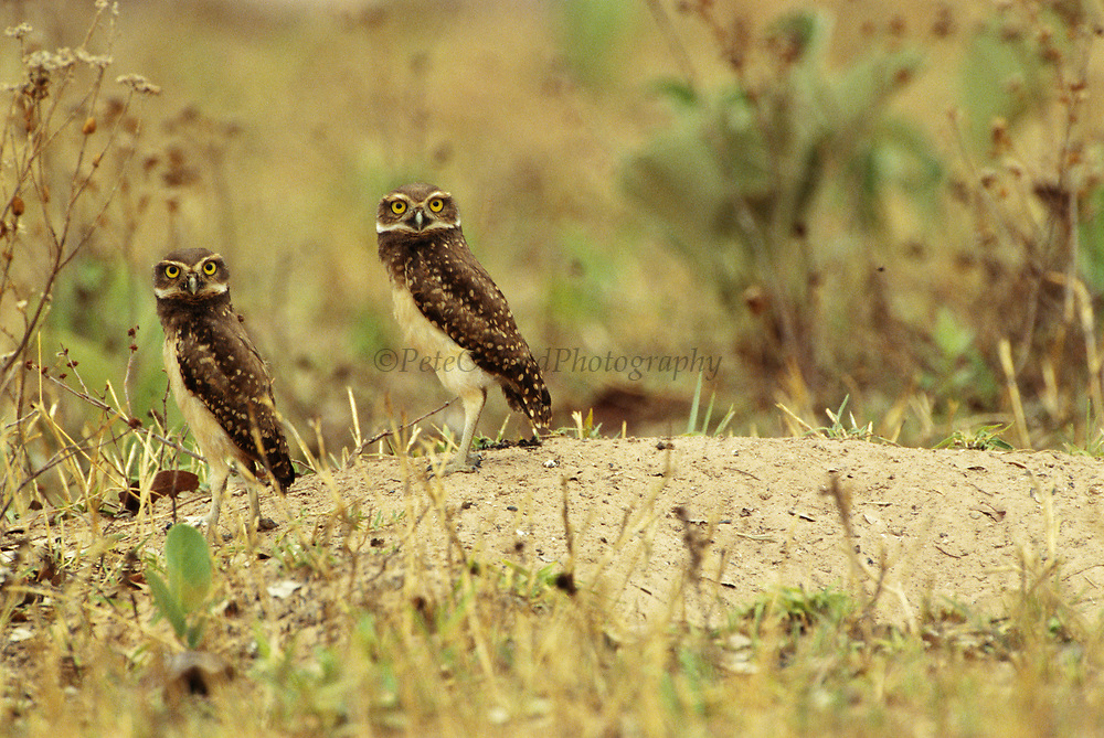 Burrowing Owls<br />Athene cunicularia<br />Cerrado Habitat.  BRAZIL.  South America<br />Range: Central and South America