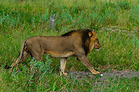 Male lion walking, Kwando Concession, Linyanti Marshes, Botswana.