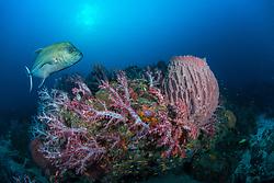 A Black Jack, Caranx lugubris, patrols past thriving soft corals and a barrel sponge at Narcondam Island, Andaman Islands, India, Indian Ocean