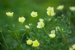 Ranunculus bulbosus 'F.M. Burton'