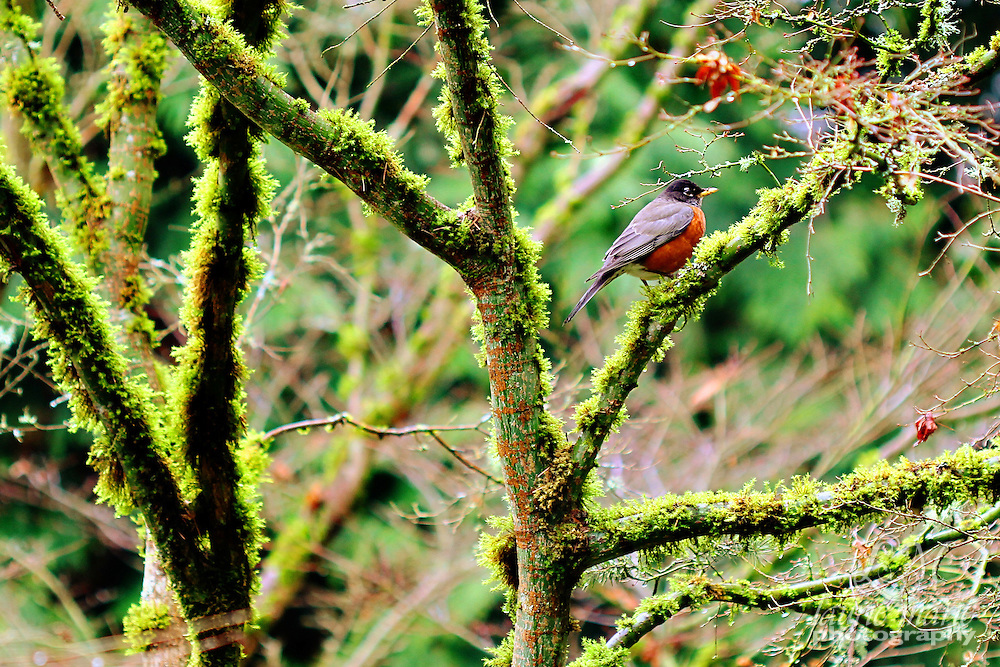 A red-breasted robin sits in a mossy tree - horizontal