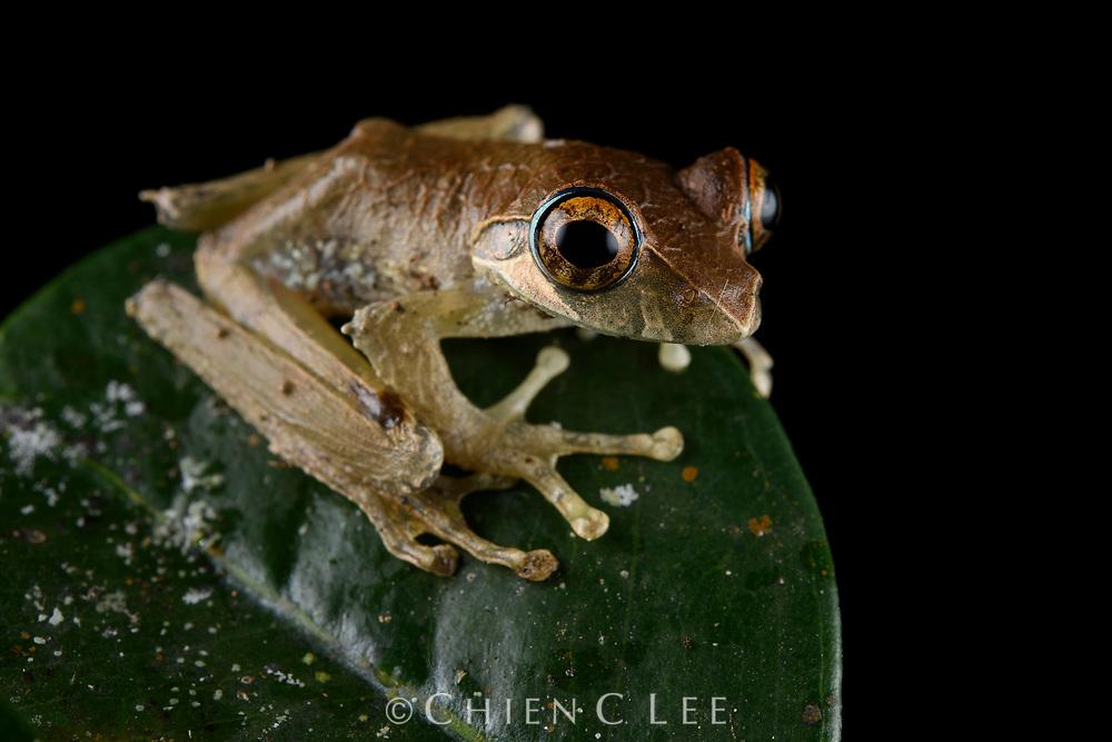Reticulate Bright-eyed Frog (Boophis reticulatus). Ranomafana National Park, Madagascar.