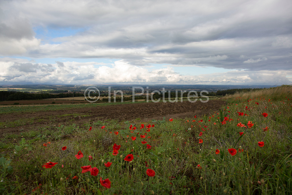 Red poppies in a field in the Hambleton Hills, North Yorkshire, England, UK. The Hambleton Hills are a range of hills which form the western edge of the North York Moors. They are the eastern boundary of the low lying Vale of Mowbray.