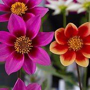 """Pinwheel Dahlia<br /> <br /> *For all details about sizes, paper and pricing starting at $85, click """"Add to Cart"""" below."""