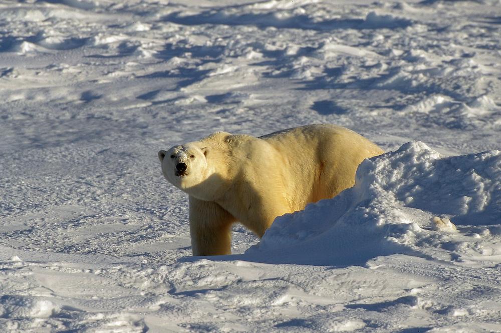 Male polar bear on ice pack