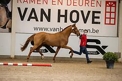 015, Skye P<br /> BWP Hengstenkeuring 2021<br /> © Hippo Foto - Dirk Caremans<br />  11/01/2021