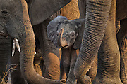 A baby elephant hides between the legs of it's family.