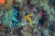 Black faced blenny-Triptérygion jaune (Tripterygion delaisi) of mediterranean sea.