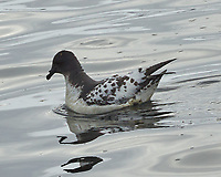 Cape Petrel (Daption capense). Deception Island. Image taken with a Leica T camera and 18-56 mm lens.