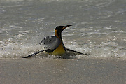 King Penguin (Aptenodytes p. patagonica) in surf.<br /> Volunteer Point, Johnson's Harbour, East Falkland Island. FALKLAND ISLANDS.<br /> RANGE: Circumpolar, breeding on Subantarctic Islands. Extensive colonies found in South Georgia, Marion, Crozet, Kerguelen and Macquarie Islands. The Falklands represent its most northerly range. They are highly gregarious which probably accounts for it common association with colonies of Gentoo Penguins.<br /> King Penguins are the largest and most colourful penguins found in the Falklands. They have a unique breeding cycle. The incubation of one egg lasts for 54-55 days and chick rearing 11-12 months. As the complete cycle takes more than one year a pair will generally only breed twice in three years.
