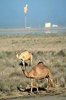 Ras al Khaimah Emirate, Camels and petrol shaft, United Arab Emirates
