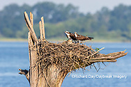 00783-02004 Osprey (Pandion haliaetus) family at nest Rend Lake Jefferson Co. IL