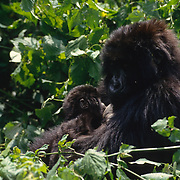 Mother mountain gorilla nursing baby. Volcanoes National Park, Rwanda, Africa