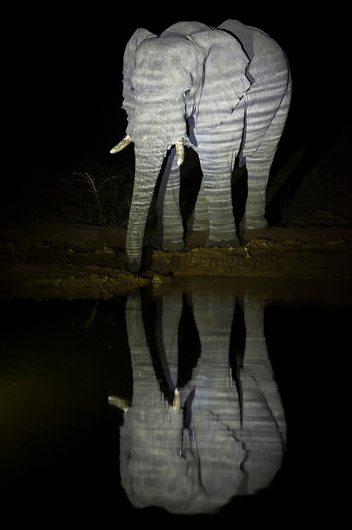 African Elephant (Loxodonta africana) at waterhole<br /> Marakele Private Reserve, Waterberg Biosphere Reserve<br /> Limpopo Province<br /> SOUTH AFRICA<br /> RANGE: Throughout sub-Saharan Africa