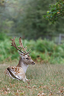 Fallow deer stag resting in grass