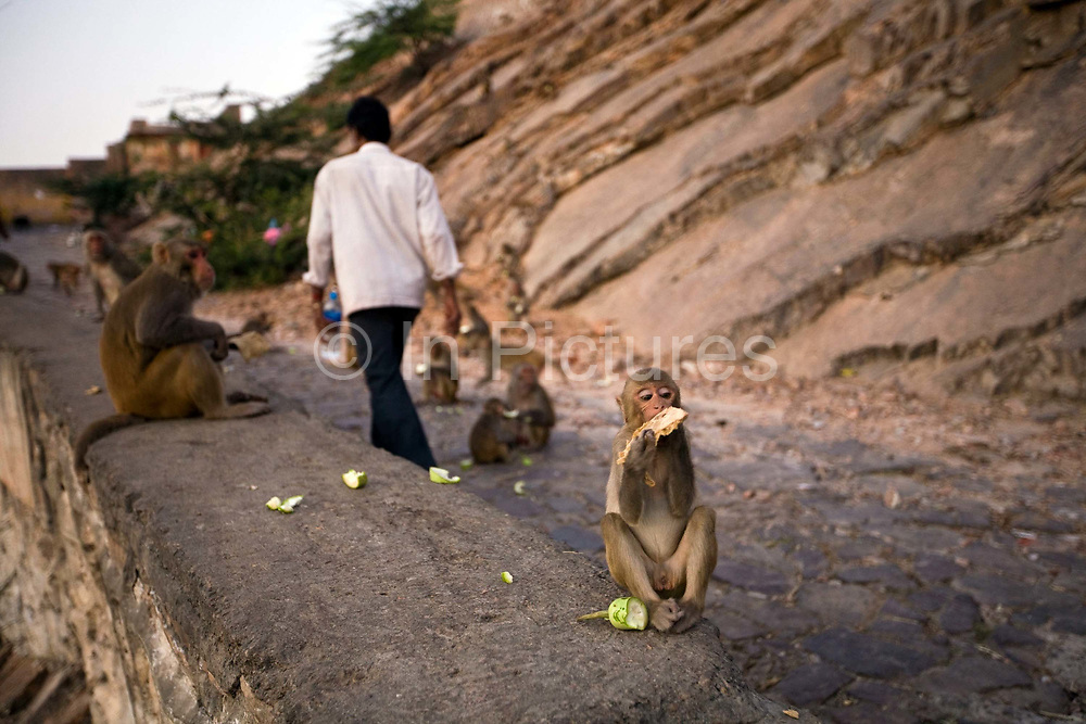 Monkeys feeding on the path up the mountainside at Galta and the Surya Mandir (known as the Monkey Temple) Jaipur, India