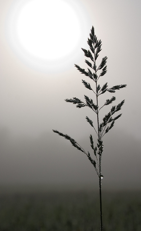 Dewy Grass and Fog