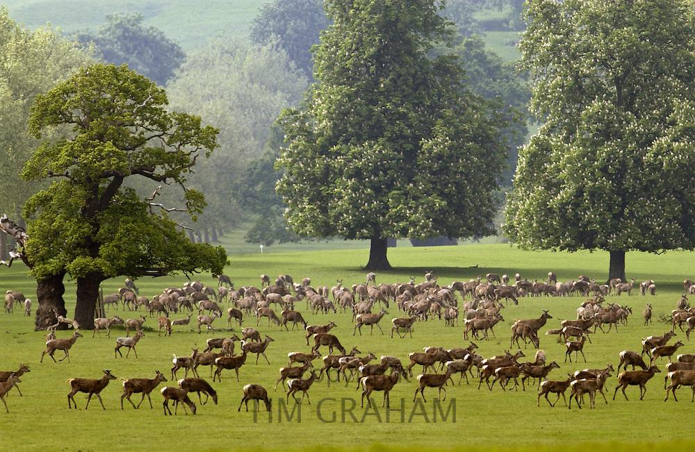 Herd of deer in Windsor Great Park, Berkshire, United Kingdom.