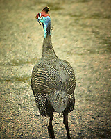 Helmeted Guineafowl along road from Victoria Falls to Botswana. Image taken with a Nikon 1 V3 camera and  70-300 mm VR lens