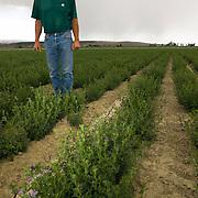 Vince Holtz stands in a field of non GMO alfalfa (Medicago sativa). MR