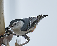 White-breasted Nuthatch (Sitta carolinensis). Image taken with a Leica SL2 camera and Sigma 100-400 mm lens.