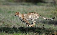 Cheetah, Acinonyx jubatus, Serengeti NP, Tanzania