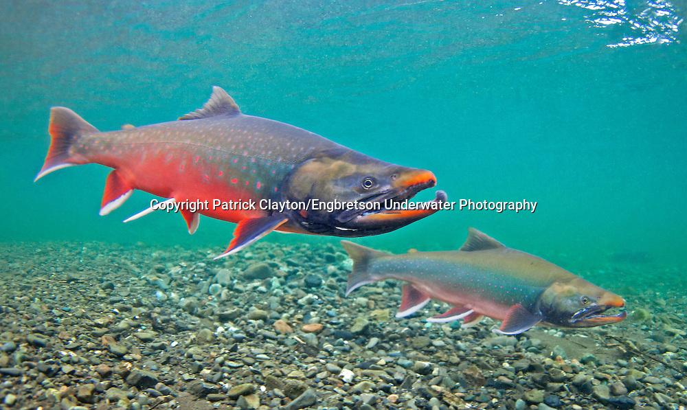Dolly Varden Spawning<br /> <br /> Patrick Clayton/Engbretson Underwater Photography