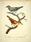 Batara tachet or spot-breasted antvireo (Dysithamnus stictothorax) [top] and Batara rousset The russet antshrike (Thamnistes anabatinus) [Bottom] from the Book Histoire naturelle des oiseaux d'Afrique [Natural History of birds of Africa] Volume 2, by Le Vaillant, François, 1753-1824; Publish in Paris by Chez J.J. Fuchs, libraire 1799