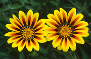 Close up of two striking and colourful gazania flowers (Gazania 'New Magic') growing in a garden in Dorset