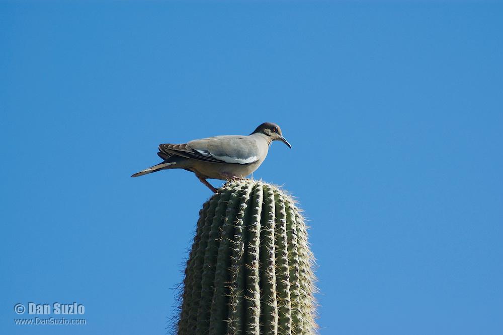 White-winged dove, Zenaida asiatica, on saguaro, Carnegiea gigantea. Arizona-Sonora Desert Museum, Tucson, Arizona