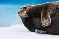 Bearded Seal, Erignathus barbatus, Spitsbergen, Svalbard