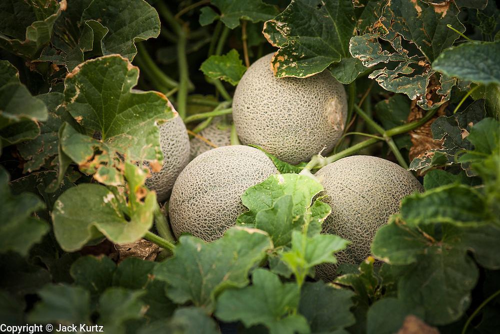 02 OCTOBER 2007 -- Cantaloupe wait to be harvested on a farm about 30 miles west of Buckeye, AZ. PHOTO BY JACK KURTZ