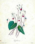 19th-century hand painted Engraving illustration of Cyclamen flower, by Pierre-Joseph Redoute. Published in Choix Des Plus Belles Fleurs, Paris (1827). by Redouté, Pierre Joseph, 1759-1840.; Chapuis, Jean Baptiste.; Ernest Panckoucke.; Langois, Dr.; Bessin, R.; Victor, fl. ca. 1820-1850.