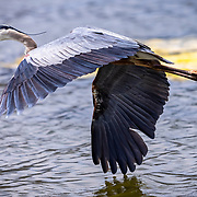 A Great Blue Heron at home in the Malibu Lagoon.