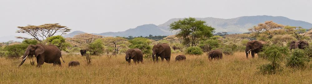 Elephant heard with babies.