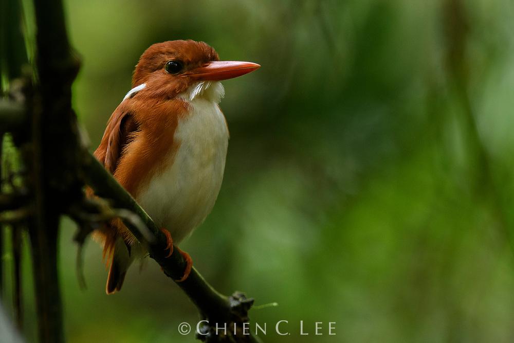 Madagascar Pygmy-kingfisher (Corythornis madagascariensis), female. Ranomafana National Park, Madagascar.