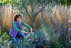 Cutting back lavender with hand shears after it has finished flowering