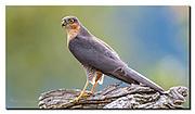 Dominant male of the Eurasian Sparrowhawk. Nikon D850, 600mm, f4, 1/640sec, ISO500, Aperture priority.