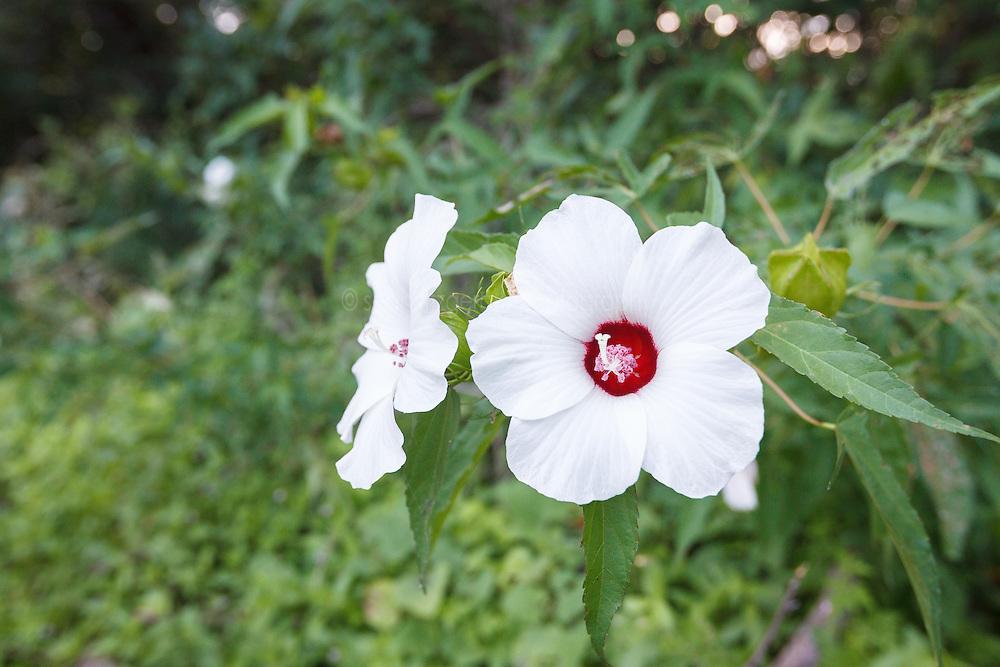 Wildflowers, Lemon Lake, Great Trinity Forest near Trinity River, Dallas, Texas, USA.