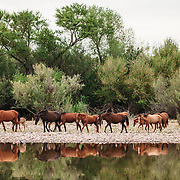Wild horses photographed on the lower Salt River, below Saguaro Lake. Wild horses make their home along the lower Salt River and the abundant Arizona Upland Sonoran Desert vegetation.<br /> <br /> Photo by Jill Richards