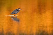 Great Blue Heron wading at sunrise, (Ardea herodias), Back Bay Reserve, California