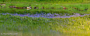 The lupines were in full bloom along Naches Loop.  They formed a brilliant refection in the shallow water of the tar.  The light breeze, warm temperatures and ripples across the water made for a serene setting to rest and watch the flowers grow.