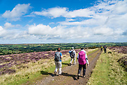 Hike through fields of purple heather flowers from Trough House to Egton Bridge, in North York Moors National Park, North Yorkshire county, England, United Kingdom, Europe. British taxpayers subsidize this privately-owned National Park, where the high, semi-natural moorland is managed by farmers and landowners for traditional sheep farming and grouse shooting. Burning the heather encourages new growth to provide food for sheep and the native red grouse (Lagopus lagopus scotica, a subspecies of willow ptarmigan). Controversial killing of foxes, stoats and crows (predator control) is done to increase grouse density. While only a rich elite can afford the regulated hunt for grouse, hunting infrastructure supports the local economy. Heather species here are: 1) Ling heather (Calluna vulgaris) with very tiny pink flowers generally blooming in mid- to late-August; 2) Bell heather with dark pink or purple bell-shaped flowers. England Coast to Coast hike day 12 of 14. [This image, commissioned by Wilderness Travel, is not available to any other agency providing group travel in the UK, but may otherwise be licensable from Tom Dempsey – please inquire at PhotoSeek.com.]