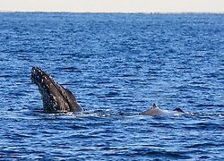 Two whales surface near Barred Creek on the Kimberley coast. The area between Barred Creek and James Price Point appears to be an important feeding area for the humpback whales.