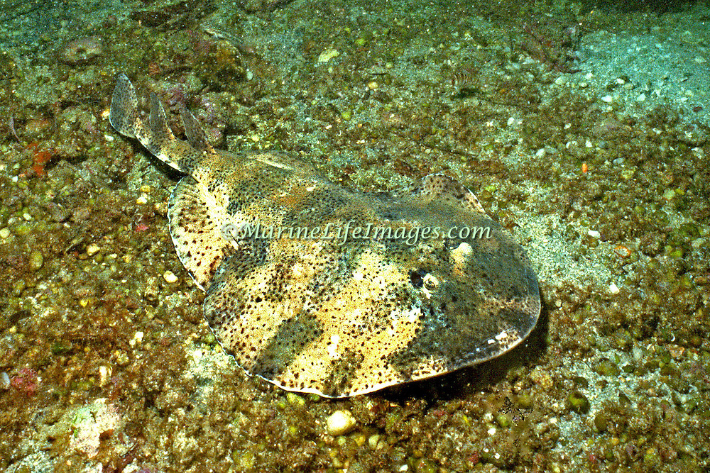Lesser Electric Ray inhabit sand, rubble and seagrass areas, often in lagoons and bays in Tropical West Atlantic; picture taken St. Vincent.