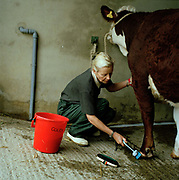 Heather Whittaker grooming her cow for competition. The hairdryers are out and the shampoo is flowing at the Great Yorkshire Show, one of Britain's biggest agricultural shows. Its famous for its competitive displays of livestock. The event, established in 1837, attracts over 125 000 visitors a year and has over 10 000 entries to its pedigree competitions ranging from pigeons and rabbits to bulls and shire horses..At the heart of the show is the passion of the exhibitors who spend hundreds of hours ( and pounds)  training, preparing and grooming their animals. As one competitor put it ? I'm proud to say that the cattle are my friend, I have had cattle who have died and I have sat down and wept for them?