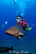 diver and Nassau grouper, Epinephelus striatus,<br /> ( Endangered Species ), Providenciales or Provo,<br /> Turks & Caicos Islands,<br /> ( Western Atlantic Ocean ) MR 158