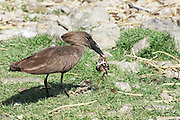 Hammerkop (Scopus umbretta). The hammerkop has a long shaggy crest and a curved bill, which, when viewed side-on, makes the head resemble a hammer. The hammerkop is found in all wetland habitats in sub-saharan Africa, Madagascar and southwest Arabia. Hammerkops are wading birds and their food includes fish, frogs, rodents and similar small animals. The hammerkop nest is a huge haystack-like construction, almost 2 metres wide, which is reused each year. Photographed in Ethiopia in February