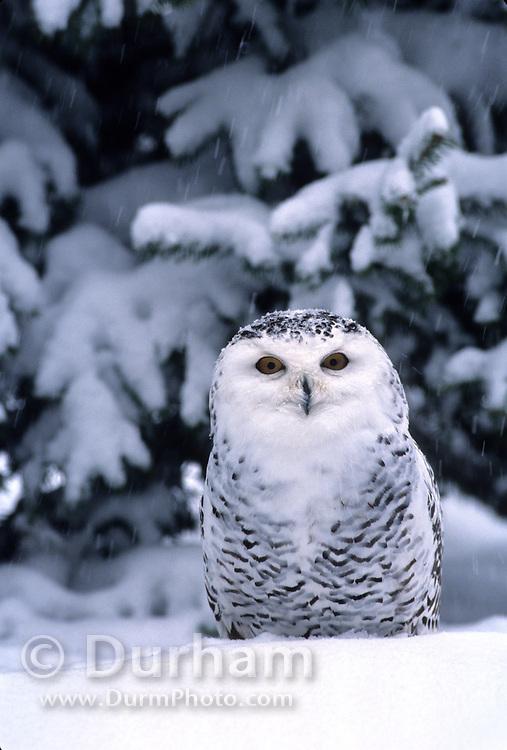 A snowy owl (Nyctea scandiaca) in the snow.